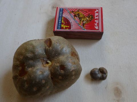air potato (Discorea bulbifera) and mukago (Discorea japonica)